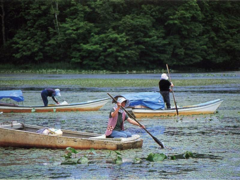 蓴菜漁のシーズン