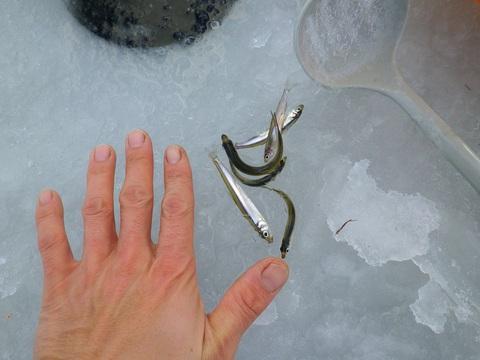 2013漁協わかさぎ.JPGのサムネイル画像のサムネイル画像のサムネイル画像