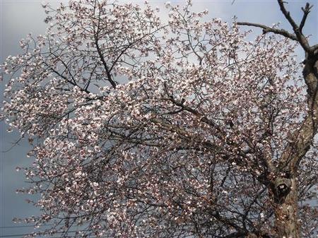 22桜_R2.jpg