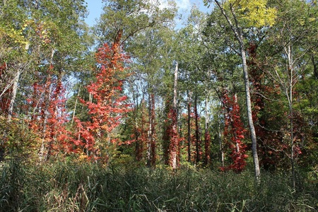ツタウルシ(緑の村先).JPGのサムネイル画像のサムネイル画像