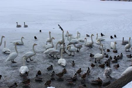 2013.1.4白鳥①.JPG