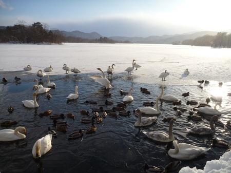 2013.1.4白鳥②.JPG