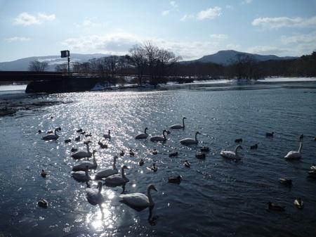 白鳥2013.3.17③.JPGのサムネイル画像