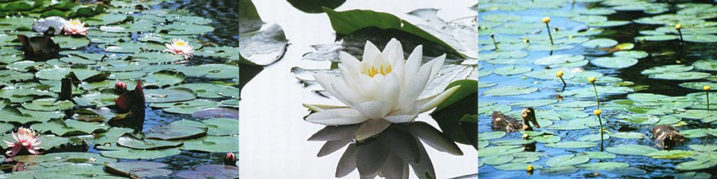 写真:左からエゾヒツジグサ・エゾヒツジグサの花・コウホネ