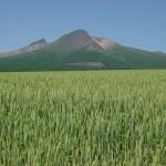 麦畑と駒ヶ岳