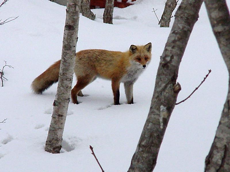 キタキツネ 冬