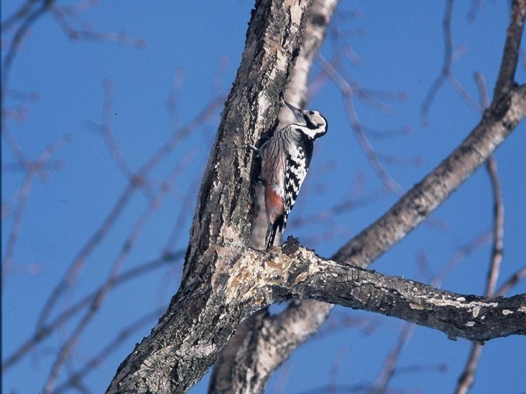 オオアカゲラ (大赤啄木鳥)