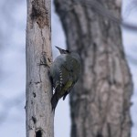 ヤマゲラ(山啄木鳥)