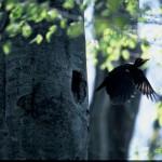クマゲラ(熊啄木鳥)