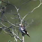 コムクドリ(小椋鳥)
